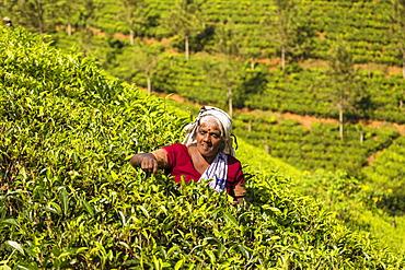 Tea plucking, Castlereagh Lake, Hatton, Central Province, Sri Lanka, Asia