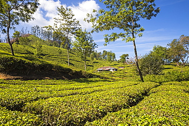 Workers cottage on Tea Estate, Munnar, Kerala, India, Asia