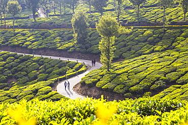 People walking along road in Tea estate, Munnar, Kerala, India, Asia