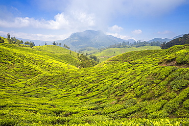 Tea estate near top station, Munnar, Kerala, India, Asia