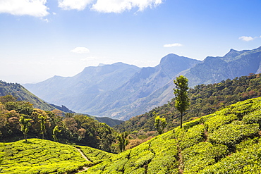 Tea estate at top station, Munnar, Kerala, India, Asia