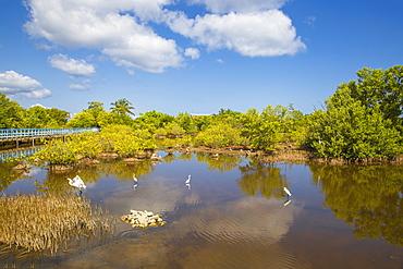 Egret in mangroves, Playa Pesquero, Holguin Province, Cuba, West Indies, Caribbean, Central America