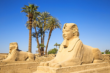 Avenue of Sphinxes, Luxor Temple, UNESCO World Heritage Site, Luxor, Egypt, North Africa, Africa