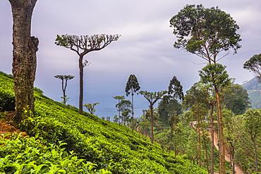 Tea plantation on a tea estate in Haputale, Nuwara Eliya District, Sri Lanka Hill Country, Sri Lanka, Asia