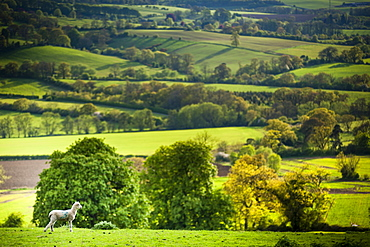 Lamb in spring, Winchcombe, The Cotswolds, Gloucestershire, England, United Kingdom, Europe