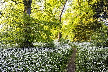 Flowers in a woods near Badbury Hill, Oxford, Oxfordshire, England, United Kingdom, Europe
