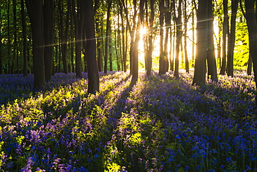Bluebells in Bluebell woods in spring, Badbury Clump at Badbury Hill, Oxford, Oxfordshire, England, United Kingdom, Europe