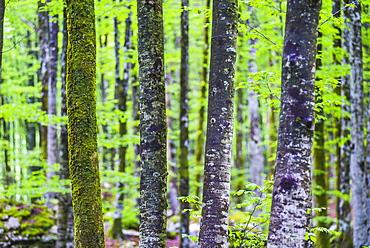 Pine forest at Lake Bohinj, Triglav National Park, Julian Alps, Slovenia, Europe