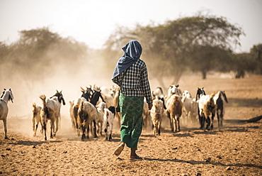 Goat herder at Bagan (Pagan), Myanmar (Burma), Asia