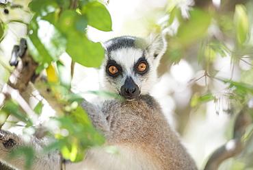 Ring-tailed lemur (Lemur catta), Isalo National Park, Ihorombe Region, Southwest Madagascar, Africa