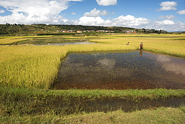 Rice paddy fields on RN7 (Route Nationale 7) near Ambatolampy in the Central Highlands of Madagascar, Africa