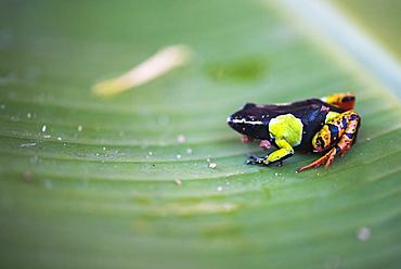 Mantella baroni, a frog endemic to Madagascar, Africa