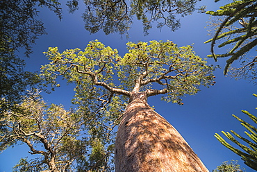 Baobab tree in Spiny Forest, Parc Mosa a Mangily, Ifaty, South West Madagascar, Africa