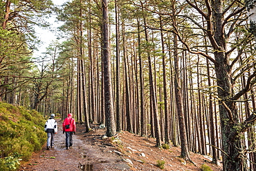 Hiking in Rothiemurchus Forest at Loch an Eilein, Aviemore, Cairngorms National Park, Scotland, United Kingdom, Europe