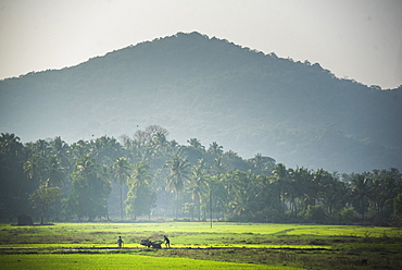 Rice paddy fields, Palolem, Goa, India, asia