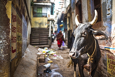 Cow in Varanasi, Uttar Pradesh, India, Asia