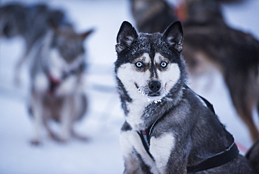 Husky at a husky farm in Lapland, Finland, Europe