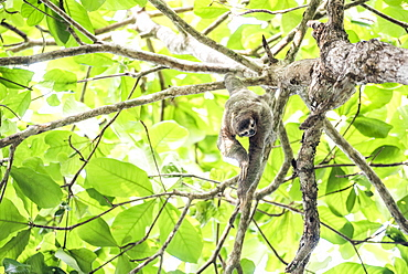 Brown Throated Three Toed Sloth, Playa Biesanz Beach, Manuel Antonio, Costa Rica, Central America