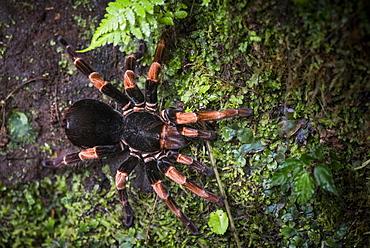 Orange-Kneed Tarantula (Megaphobema mesomelas), Monteverde Cloud Forest Reserve, Puntarenas, Costa Rica, Central America