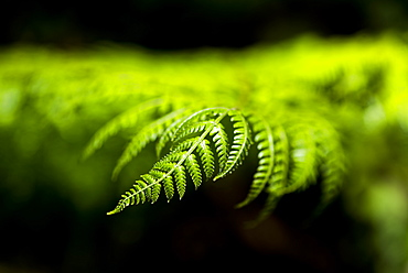 Close up detail of a fern in the rainforest in Arenal Volcano National Park, Alajuela Province, Costa Rica, Central America