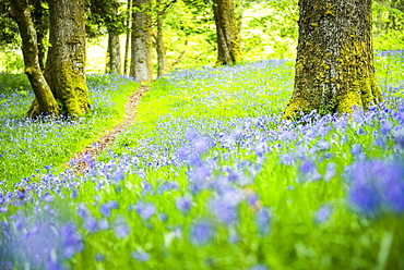 Bluebell woods at Derwent Water, Lake District National Park, UNESCO World Heritage Site, Cumbria, England, United Kingdom, Europe