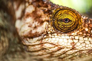 Parson's chameleon (Calumma parsonii), endemic to Madagascar, Africa