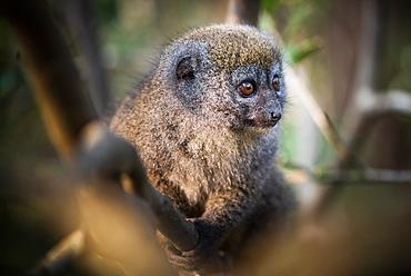 Grey Bamboo Lemur (Hapalemur), Andasibe, Madagascar, Africa