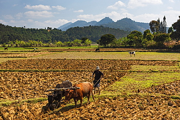 Rice paddy field worker farming near Andasibe, Madagascar, Africa