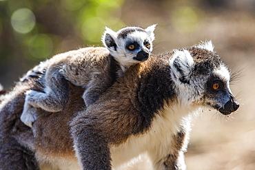 Ring-tailed Lemur and its baby (Lemur catta), Anja Community Reserve, Haute Matsiatra Region, Madagascar, Africa
