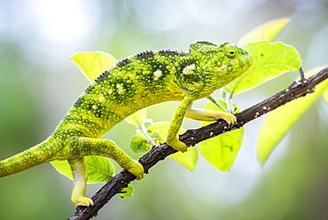 Malagasy Giant Chameleon (Furcifer oustaleti), Anja Community Reserve, Haute Matsiatra Region, Madagascar, Africa