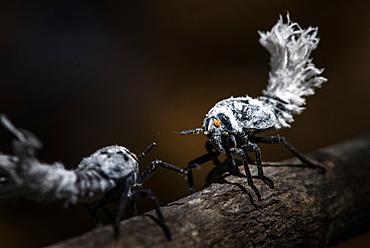 Flatid Leaf-Bug (leafhopper) (Phromnia rosea) nymphs, Anja Community Reserve, Haute Matsiatra Region, Madagascar, Africa