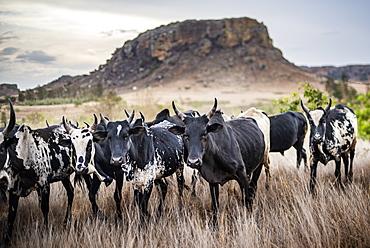 Zebu herd, Isalo National Park, Ihorombe Region, Southwest Madagascar, Africa