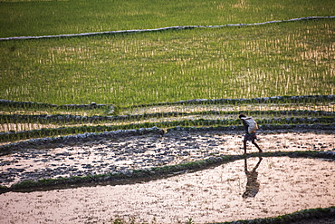 Rice paddy fields at sunser, near Ranomafana, Haute Matsiatra Region, Madagascar, Africa