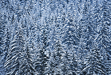 Snowy forest winter landscape, Avoriaz, Port du Soleil, Auvergne Rhone Alpes, French Alps, France, Europe