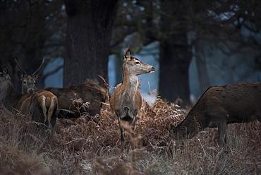 Red Deer (Cervus elaphus) in Richmond Park, Richmond, London, England, United Kingdom, Europe