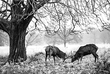 Red Deer (Cervus elaphus) in Richmond Park, Richmond, London, England, United Kingdom, Europe