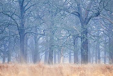 Woodland in Richmond Park, Richmond, London, England, United Kingdom, Europe