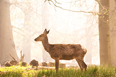 Red Deer in Richmond Park, London, England, United Kingdom, Europe