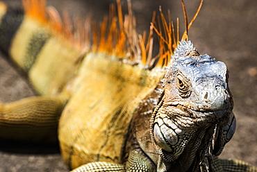 Green iguana (Iguana iguana) near La Fortuna, Arenal, Alajuela Province, Costa Rica, Central America