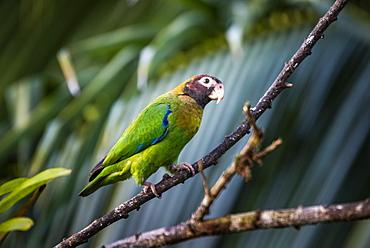 Brown-hooded Parrot (Pyrilia haematotis), Boca Tapada, Alajuela Province, Costa Rica, Central America