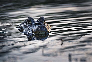 Spectacled Caiman (Caiman crocodilus), Boca Tapada, Alajuela Province, Costa Rica, Central America
