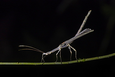 Stick Insect (Phasmatodea) (Walking Stick Insect), Boca Tapada, Alajuela Province, Costa Rica, Central America