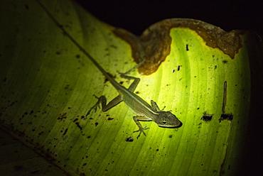 Slender Anole Lizard (Anolis fuscoauratus) (Brown Eared Anole), Boca Tapada, Alajuela Province, Costa Rica, Central America