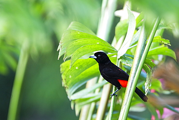 Scarlet-rumped Tanager (Ramphocelus passerinii), Boca Tapada, Alajuela Province, Costa Rica, Central America
