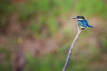Green Kingfisher (Chloroceryle americana), Boca Tapada, Alajuela Province, Costa Rica, Central America
