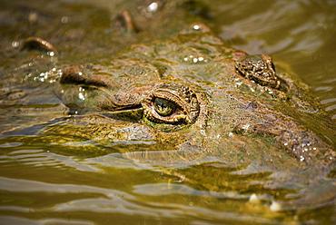 American Crocodile (Crocodylus acutus), Tarcoles River, Carara National Park, Puntarenas Province, Costa Rica, Central America