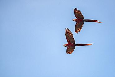 Pair of Scarlet Macaw (Ara macao), Tarcoles River, Carara National Park, Puntarenas Province, Costa Rica, Central America