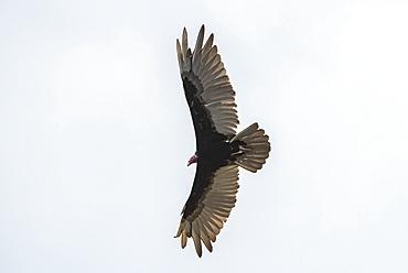 Turkey Vulture (Cathartes aura), Tarcoles River, Carara National Park, Puntarenas Province, Costa Rica, Central America
