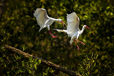 American White Ibis (Eudocimus albus), Tarcoles River, Carara National Park, Puntarenas Province, Costa Rica, Central America