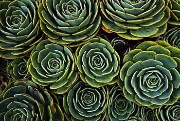 Succulents in the shape of flowers, San Gerardo de Dota, San Jose Province, Costa Rica, Central America